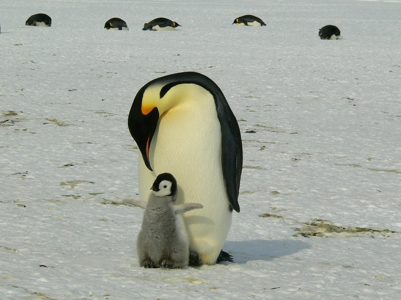 penguin dad